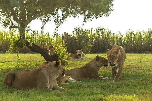 Johannesburgo, Diversión Para Todas Las Edades, Lion Park
