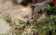 Tasmania, La Isla De Los Animales Fantásticos, Demonio de Tasmania