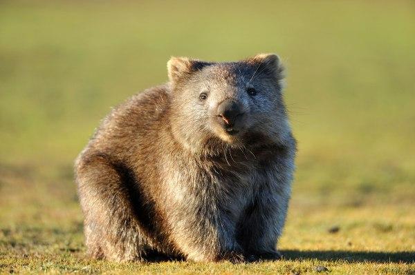 Tasmania, La Isla De Los Animales Fantásticos, Wombat